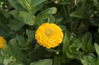 Giant Dahlia Flowered Golden Yellow Zinnia
