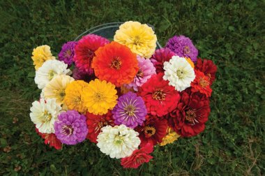 Giant Dahlia Flowered Mix - Zinnia Seed