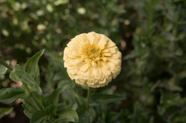 Giant Dahlia Flowered Creamy Yellow Zinnia