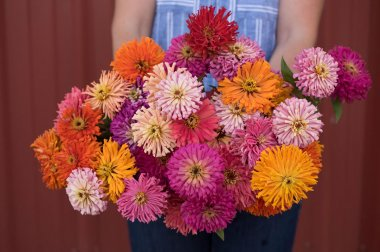 Cactus Flowered Mix - Zinnia Seed