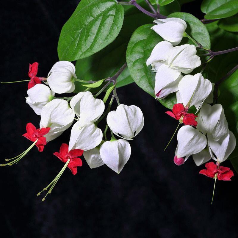 Clerodendrum Thomsonae Balf Seeds Rare Flower Garden Bonsai Seed Sd96126 3 50 Buy Fruit Trees Vegetable Seeds Flower Seeds Flowering Trees And Fruit Trees And Rose Trees Online Seedsday