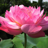 Nymphaea Caerulea China Water Lily Pad Flower Pond Seeds