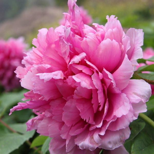 Pink Peony Flower Seeds Perennial Deciduous Shrub Plant