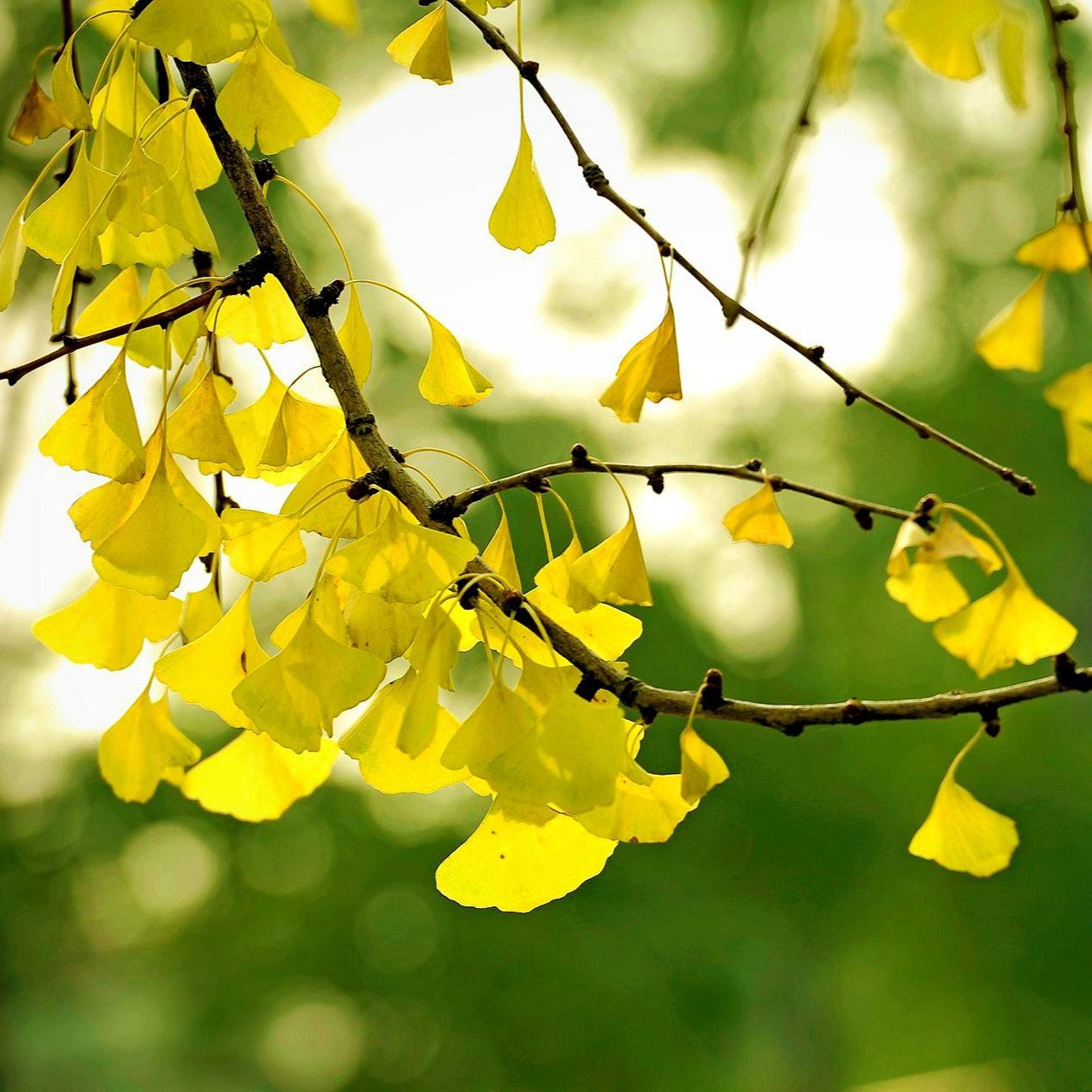 4 5 Ft Ginkgo Tree Unique Leaves Bright Yellow Fall Folia Sd96172 30 95 Buy Fruit Trees Vegetable Seeds Flower Seeds Flowering Trees And Fruit Trees And Rose Trees Online Seedsday