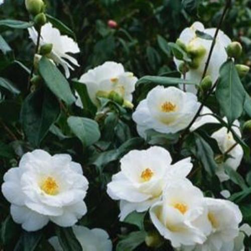 Camellia Japonica White By The Gate Sd96171 28 99 Buy
