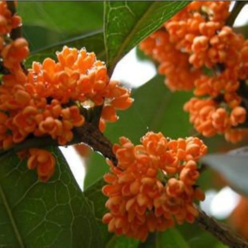 Sweet Scented Osmanthus Tree Plant Chinese Fragrance Dan Gui