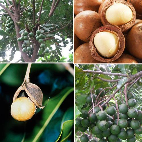 macadamia nut Trees rooted and fresh