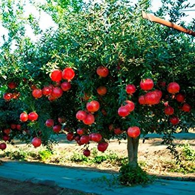 2 Live Plants Pomegranate Fruit Tree